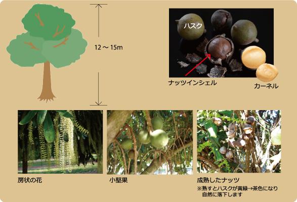 マカダミアナッツの木について